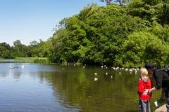 Un hombre y una charca que hace una pausa del niño y mirada de las gaviotas, pato Imagen de archivo