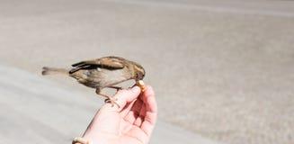 Un homme alimentant un oiseau Photos libres de droits