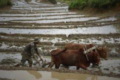 Un homme avec ses boeufs labourant le champ détrempé dans Ukhrul Image libre de droits