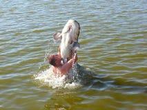 Un homme avec un poisson-chat Image libre de droits