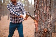 Un homme coupe un arbre dans une fin d'arbre d'entaille de hache de forêt d'automne vers le haut d'image image stock
