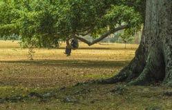 Un homme détend dans le gros morceau d'un arbre géant dans la savane à Port-d'Espagne, Trinidad Image libre de droits