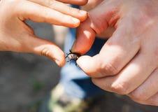Un homme dans sa main tient un scarabée de cerfs communs La main d'un enfant touche le Th photo stock