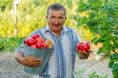 Un homme de lod avec un seau plein des tomates Image libre de droits