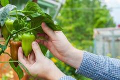 Un homme moissonne des poivrons verts Photos stock