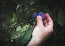 Un homme sélectionnant les prunes fraîches photo libre de droits