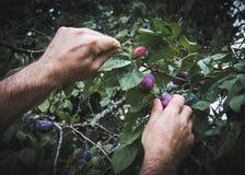 Un homme sélectionnant les prunes fraîches images libres de droits