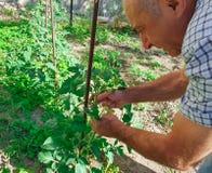 Un homme s'occupe des tomates dans un jardin photos libres de droits