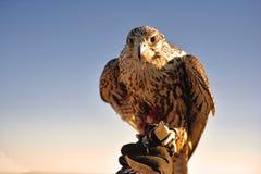 Un homme tenant un oiseau de proie dans le désert Image libre de droits