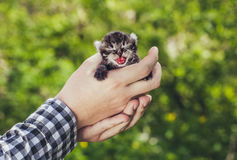 Un homme tenant un petit, beau chaton rayé de couleur, qui a ouvert sa bouche et montre la langue Photo stock
