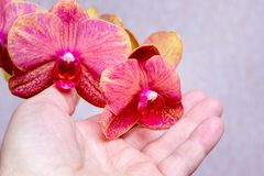 Un homme tient les orchidées roses dans sa main Soin de houseplants_ photos libres de droits