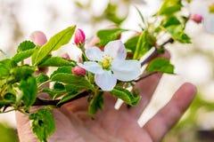 Un homme tient une branche de pomme avec une fleur et des bourgeons dans sa main Admirez le _de ¼ de nature et de flowersÐ images stock