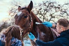Un homme vétérinaire avec son assistant traitant un cheval de race brun, méthode de dépose de papillomes employant le cryodestruc photographie stock