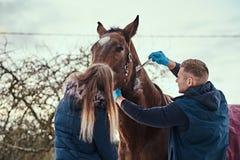 Un homme vétérinaire avec son assistant traitant un cheval de race brun, méthode de dépose de papillomes employant le cryodestruc image libre de droits