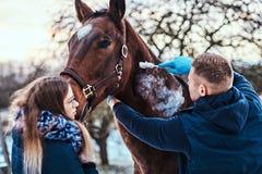Un homme vétérinaire avec son assistant traitant un cheval de race brun, méthode de dépose de papillomes employant le cryodestruc photographie stock libre de droits