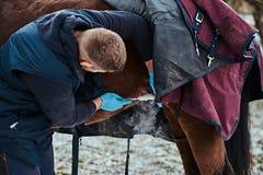 Un homme vétérinaire traitant un cheval de race brun, méthode de dépose de papillomes employant le cryodestruction, dans un extér image libre de droits