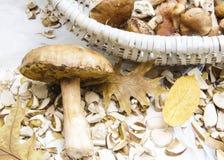 Un hongo blanco grande miente en las hojas Imágenes de archivo libres de regalías