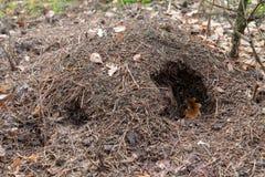 Un hormiguero dañado por un jabalí en el lugar abandonado bosque fotos de archivo