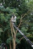 Un horticulteur dans une récolteuse de cerise équilibre un grand arbre photos libres de droits