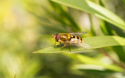 Un Hoverfly Photographie stock