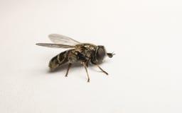 Un Hoverfly hermoso aislado en un fondo blanco Fotografía de archivo libre de regalías