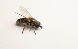 Un Hoverfly hermoso aislado en un fondo blanco Fotografía de archivo