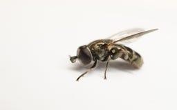 Un Hoverfly hermoso aislado en un fondo blanco Foto de archivo