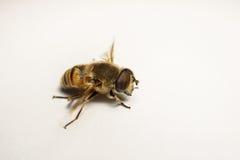 Un Hoverfly hermoso aislado en un fondo blanco Fotos de archivo