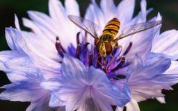 Un Hoverfly hermoso que alimenta en una flor azul y púrpura Foto de archivo