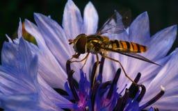 Un Hoverfly hermoso que alimenta en una flor azul y púrpura Foto de archivo libre de regalías