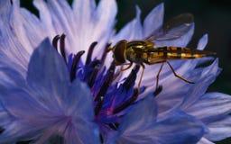 Un Hoverfly hermoso que alimenta en una flor azul y púrpura Imagen de archivo