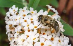 Un Hoverfly hermoso que alimenta en una flor blanca Imagen de archivo libre de regalías