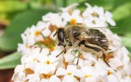 Un Hoverfly hermoso que alimenta en una flor blanca Fotos de archivo libres de regalías