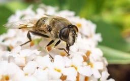 Un Hoverfly hermoso que alimenta en una flor blanca Imagenes de archivo