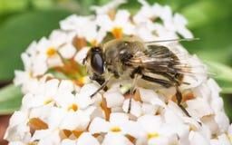 Un Hoverfly hermoso que alimenta en una flor blanca Fotografía de archivo libre de regalías