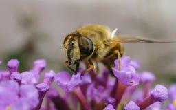Un Hoverfly hermoso que alimenta en una flor púrpura Foto de archivo