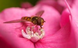 Un Hoverfly hermoso que alimenta en una flor rosada Foto de archivo