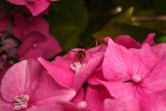 Un Hoverfly hermoso que alimenta en una flor rosada Imagen de archivo