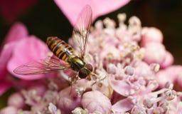 Un Hoverfly hermoso que alimenta en una flor rosada Imagenes de archivo