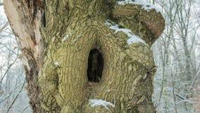 Un hueco misterioso en un árbol masivo foto de archivo libre de regalías