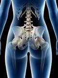 Un hueso de la cadera de las hembras libre illustration