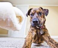 Un hueso del cuero crudo tiene la atención completa del perrito Fotos de archivo