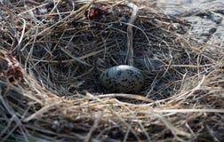 Un huevo de la gaviota en una jerarquía en una roca en el mar de Ojotsk Fotos de archivo