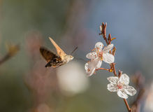 Un Hummingmoth suce le nectar Image stock