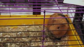 Un humster regordete rojo en una jaula Parque zool?gico del contacto La gente mira animales domésticos en la feria de la ciudad F almacen de metraje de vídeo