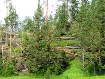 Un huracán potente con la raíz sacó árboles y arbustos Fotografía de archivo