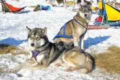 Un husky di due cani Fotografia Stock