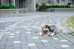Un husky di due cuccioli Cani della lettiera che dormono sulla via immagini stock