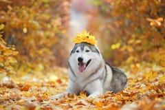 Un husky grigio delizioso si trova nelle foglie di autunno gialle con una corona delle foglie sulla sua testa e prende il piacere Fotografia Stock