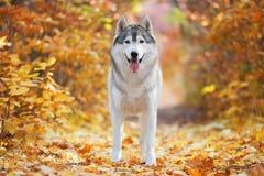 Un husky grigio delizioso sta in foglie di autunno gialle e prende il piacere Immagine Stock